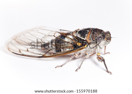 cicada side view, isolated on white background - stock photo