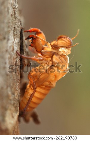 cicada slough holding on a tree - stock photo