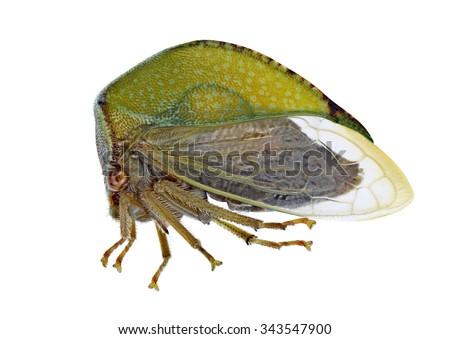 Cicada Stictocephala bisonia on a white background - stock photo