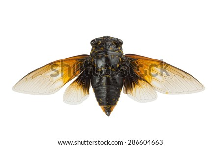 Cicadas with golden wings
