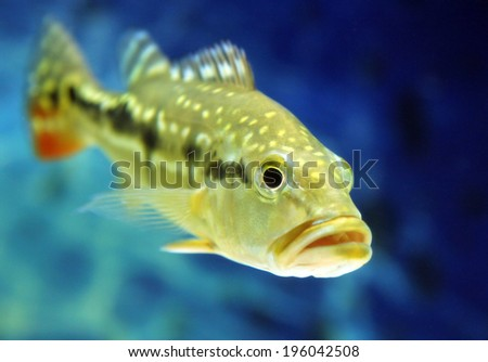 Cichla temensis fish (speckled pavon, speckled peacock bass, or painted pavon)  - stock photo