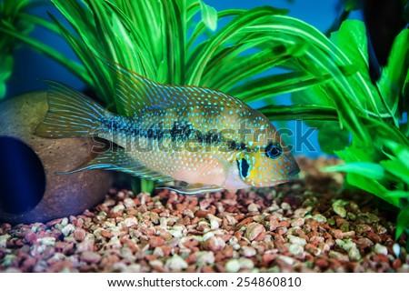 Cichlid, aquarium fish - stock photo