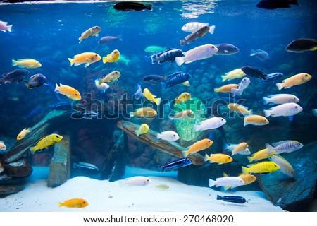 cichlids  - stock photo