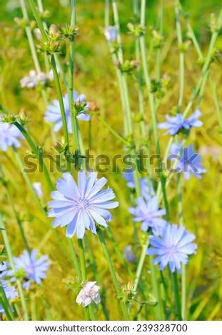 Cichorium flower on meadow - stock photo