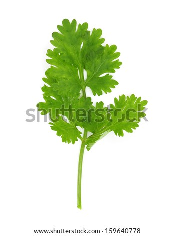 Cilantro isolated on white