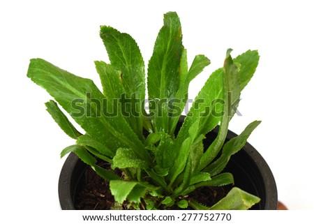 how to grow sawtooth coriander