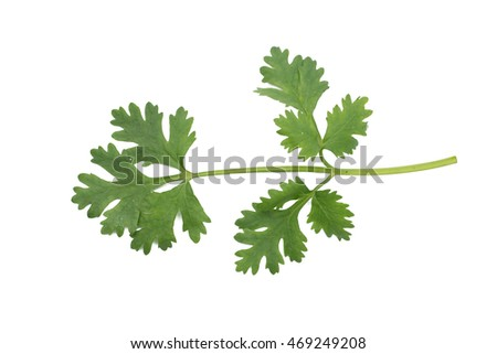 cilantro thai herb isolated on white background