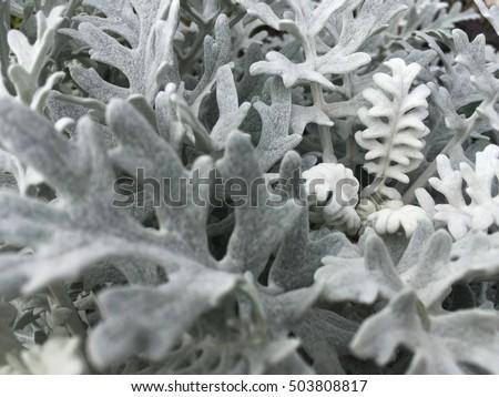 Cineraria maritima Silver Dust – Gardening Impulse