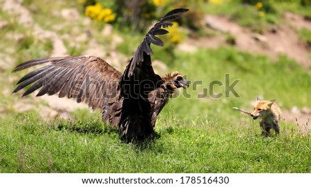 Cinereous (Eurasian Black) Vulture (Aegypius monachus) has a stand off with a Red Fox (vulpes vulpes)