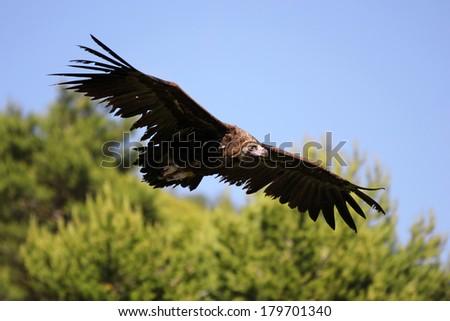 Cinereous (Eurasian Black) Vulture (Aegypius monachus) in flight - stock photo
