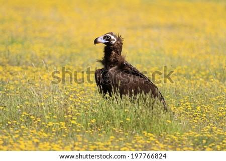 Cinereous Vulture  Aegypius monachus - stock photo