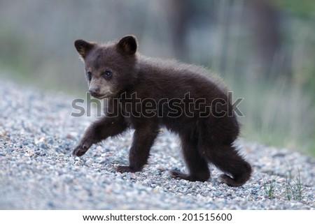 Cinnamon black bear cub - stock photo