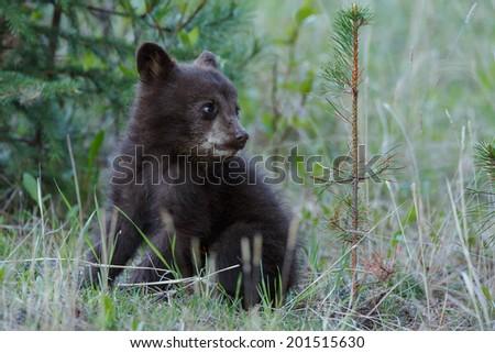 Cinnamon Black Bear Cubs
