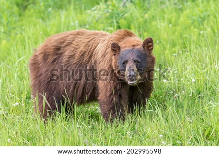 Cinnamon Black Bear in the wilderness of Whistler, British Columbia - stock photo