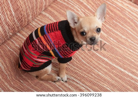 Cinnamon Chihuahua puppy dressed with pullover sitting on sofa, 4 months old female.  - stock photo