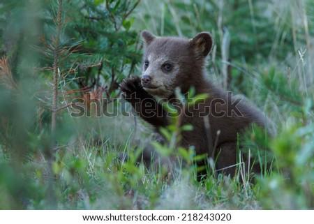 Cinnamon color  black bear cub - stock photo