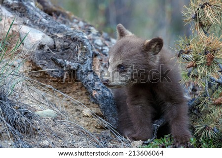 Cinnamon colored black bear cub - stock photo