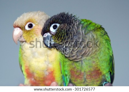 Cinnamon mutation and Normal Green Cheeked Conure Parakeets
