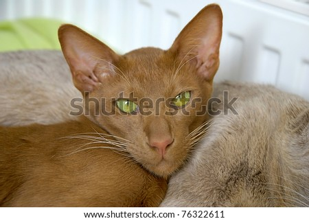 Cinnamon Oriental Short-hair Cat