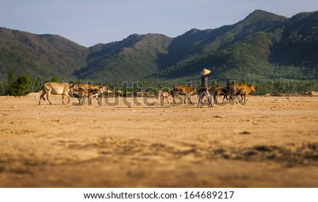 CIRCA APRIL 2010 - QUY NHON, VIETNAM - A farmer drives cattle across open land, on 25 April 2010, in Quy Nhon, Vietnam.