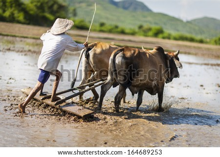 CIRCA APRIL 2010 - QUY NHON, VIETNAM - A farmer drives his oxen to plough a cleared rice field, on 25 April 2010, in Quy Nhon, Vietnam.