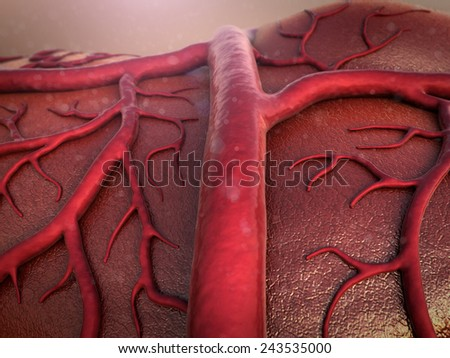 circulatory system, Capillary, Cardio-vascular  - stock photo