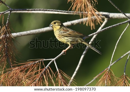 Cirl Bunting Rmberiza cirlus, female. - stock photo