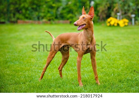 cirneco dell etna dog - stock photo