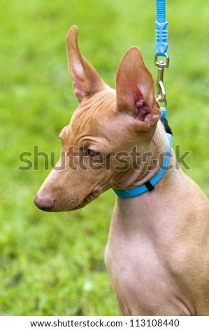 Cirneco dell'Etna, Sicilian Hound puppy portrait with blue leash on green background - stock photo