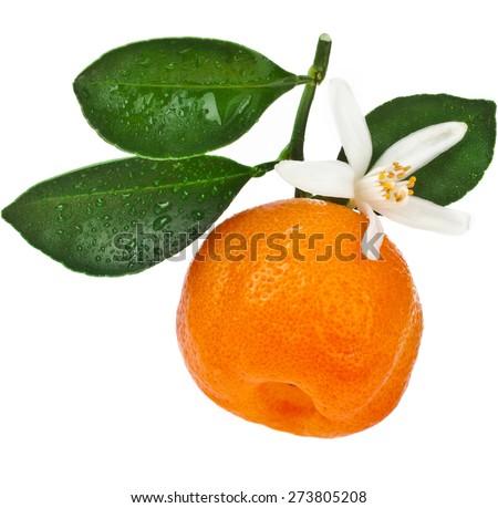 Citrus Calamondin, one fruit  close up isolated on white background - stock photo