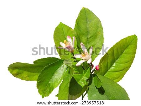 Citrus flowers on the tree isolated on a white background - stock photo