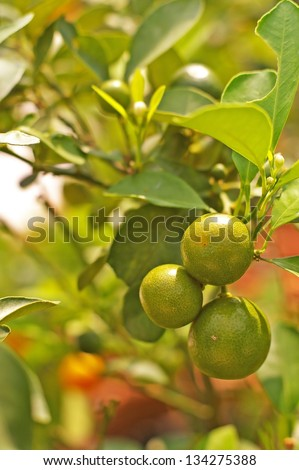 citrus fruits on the tree in the garden