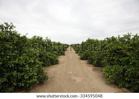 Citrus Grove. Oranges, Lemons, Limes, and other Citrus grow in rows in a Citrus Grove in Central California. Bakersfield California is known for growing food for people around the world. - stock photo