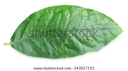 Citrus leaf isolated on a white background
