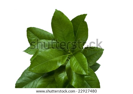 Citrus leaves in a bunch against a white background. - stock photo