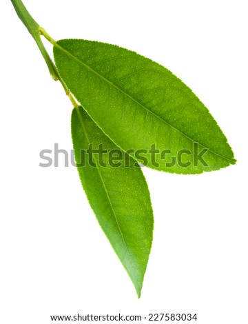 Citrus leaves isolated on a white background  - stock photo