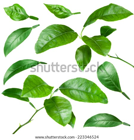 Citrus leaves isolated on white background. Collection - stock photo