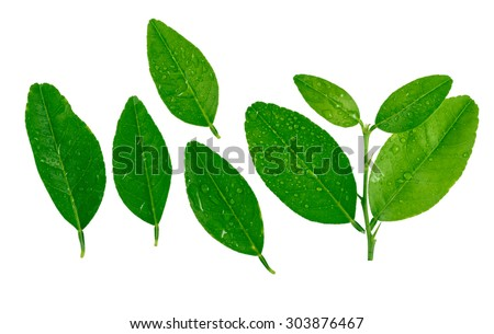 Citrus lemons  leaves with drops isolated on a white background with drops