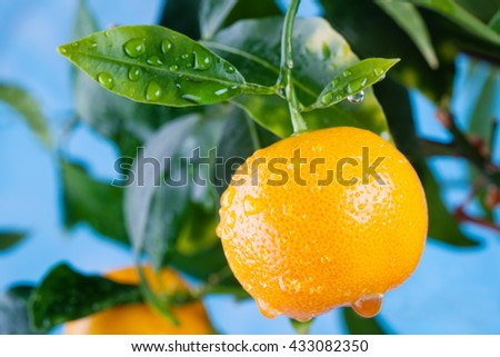 Citrus, orange, mandarin fruits branch in the garden. Summer time photo orange tree. Blue sky background, sunny day. Leaves and fruit with water drops. Copy space, closeup.
