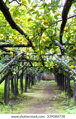 Citrus orchard in Sorrento (L'agruminato), Amalfi coast. Orange trees are supported by wooden constructions forming beautiful archways.  - stock photo