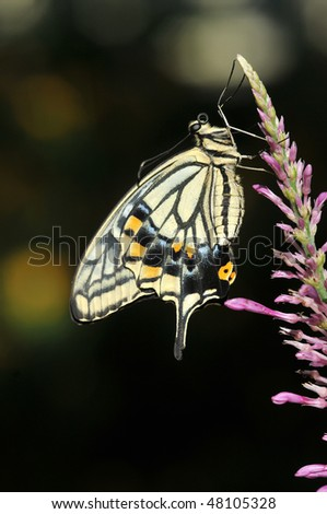 Citrus Swallowtail Butterfly - stock photo