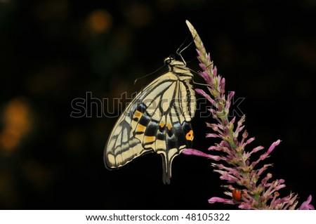 Citrus Swallowtail Butterfly feeding - stock photo