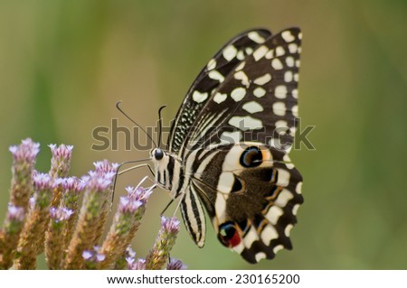 Citrus Swallowtail Butterfly (Papilio Demodocus) ~ South Africa - stock photo