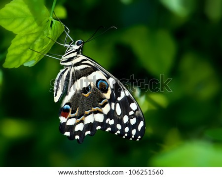 Citrus Swallowtail Butterfly (Papilio demoleus) perched on leaves. Natural green background. - stock photo