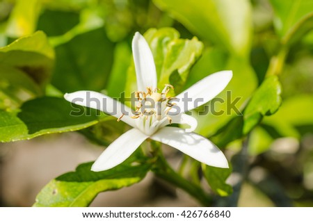 Citrus tree blossom, also known as azahar, in the Mediterranean spring - stock photo