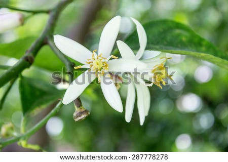 Citrus tree with flowers / lemon tree / citrus blossoms