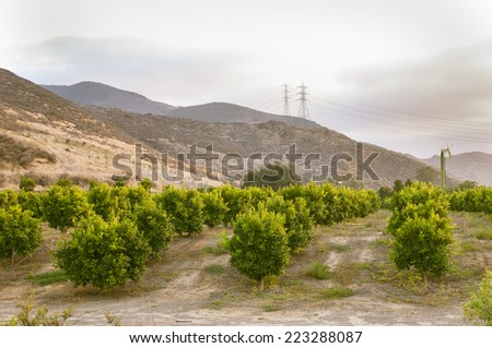 Citrus trees in an orchard in Southern California
