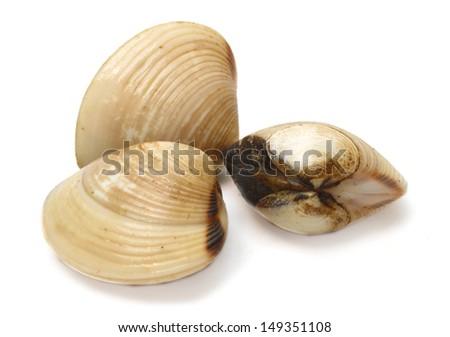 Clams on white background  - stock photo