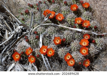 Claret cups in full bloom, spring wildflowers, Joshua Tree National Park - stock photo