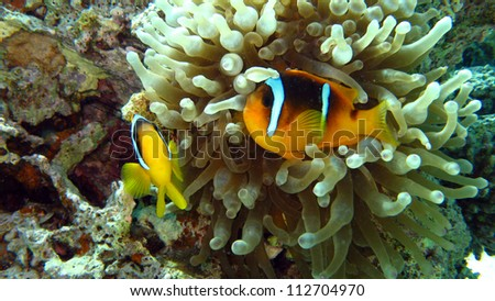 Clark's Anemonefish or clownfish in the Red Sea,Egypt